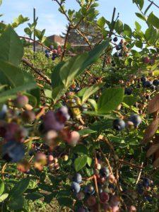 bleuberry2